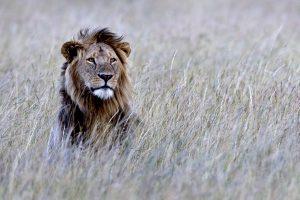 Vélemény Az oroszlánt nem kellene a veszélyeztetett fajok listájára felvenni